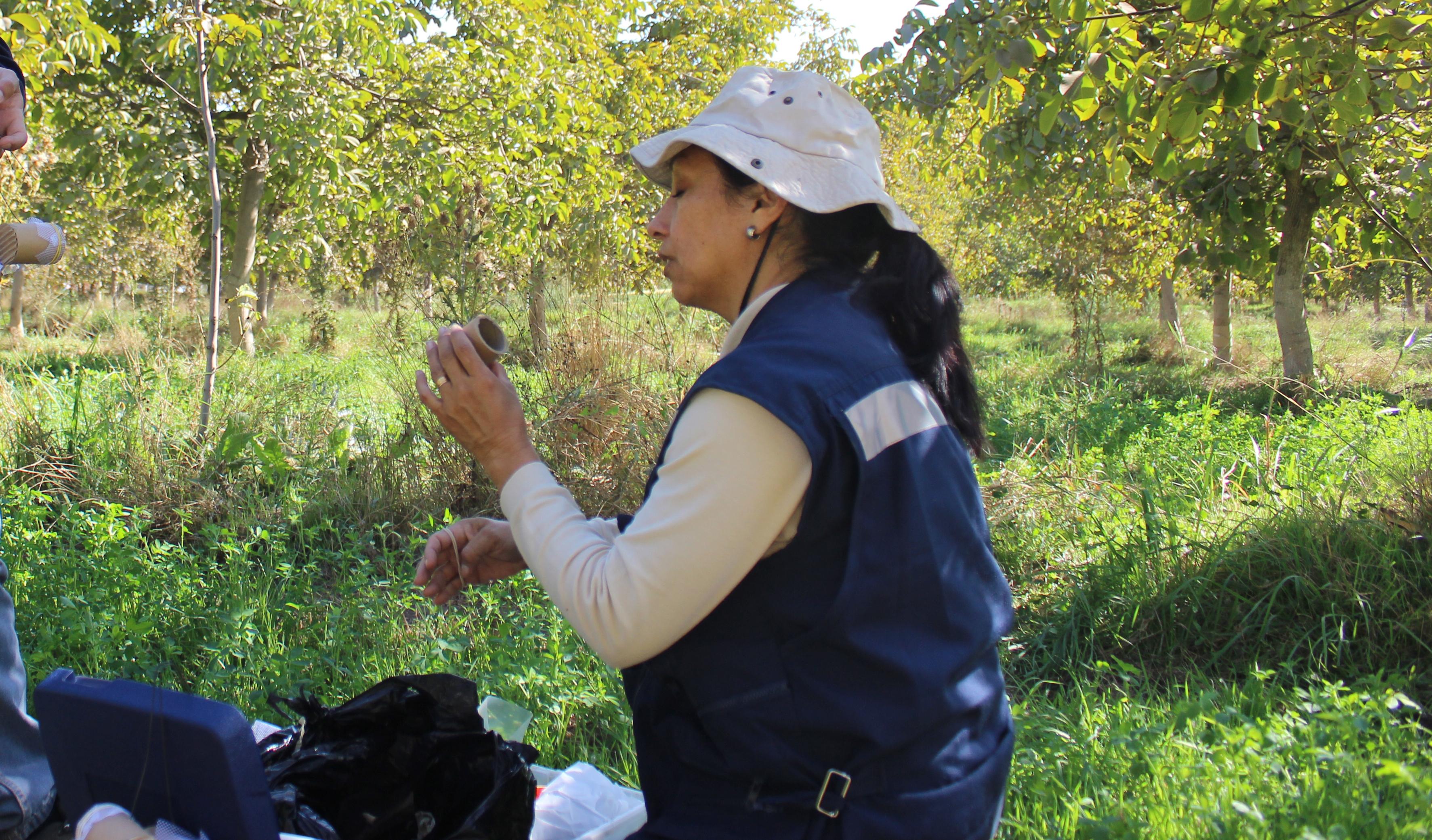 Liberan controlador biológico de polillas en huertos de producción orgánica de nogales