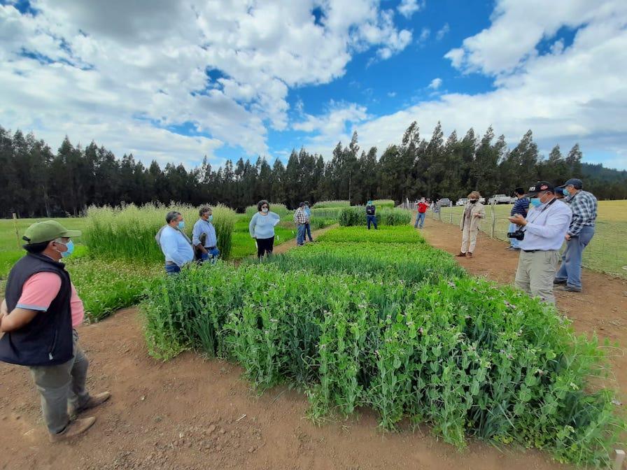 Cumpliendo las normas sanitarias INIA realiza días de campo en el rubro ovino