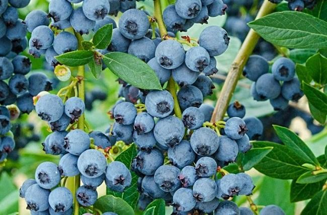 Investigadores INIA resaltaron importancia de contar con nuevas variedades de berries en Maule