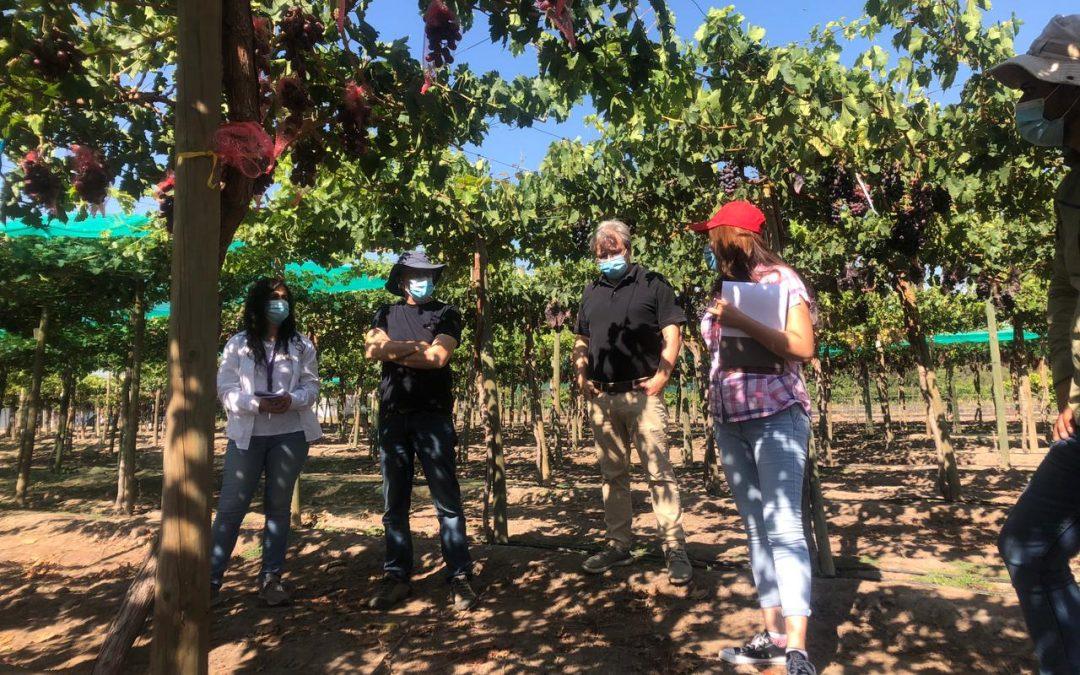 Especialistas de INIA La Platina junto a representantes del sector privado constataron en terreno nuevas selecciones de uva de mesa